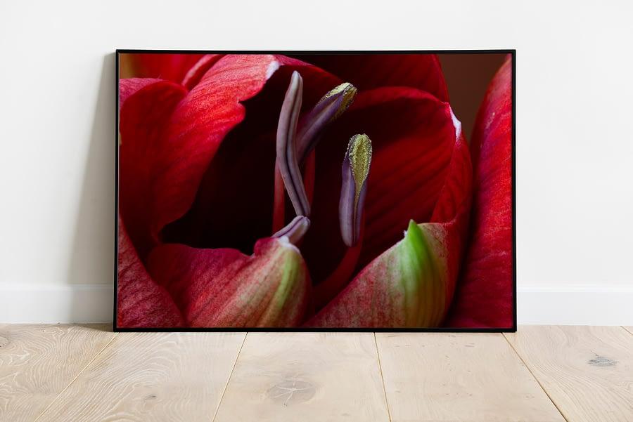 Amaryllis macrofotografie wanddecoratie